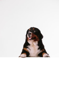 Bernese mountain dog with blank banner