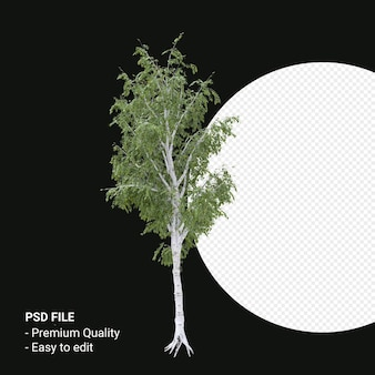 Betula 진자 나무 3d 렌더링에 고립 된 투명 한 배경