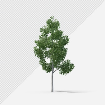 Birch tree isolated rendering with shadow