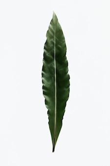 Bird's nest fern on white background