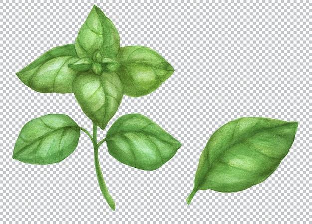 Ботаническая акварель иллюстрации. свежий зеленый лист базилика и ветка