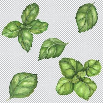 Ботаническая акварель иллюстрации. свежий зеленый итальянский базилик дженовезе