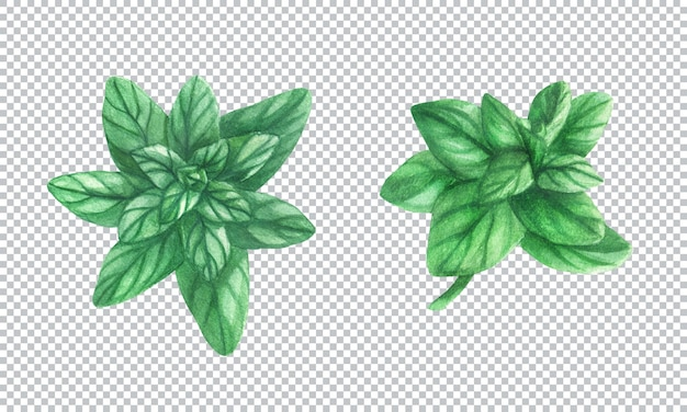 Ботаническая акварель иллюстрации. свежий пряный зеленый майоран