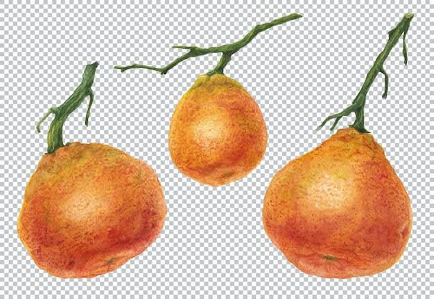 Ботаническая акварель иллюстрации. три ветки апельсина и мандарина со свежими фруктами