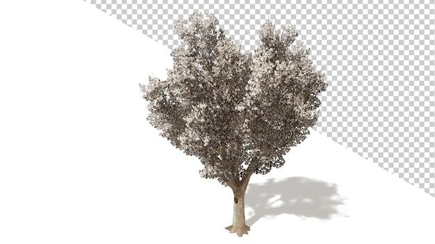 격리 된 나무와 브래드포드 callery 배 꽃 3d 렌더링