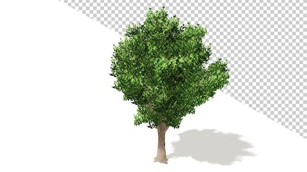 격리 된 나무 3d 렌더링 bradford callery 배 나무