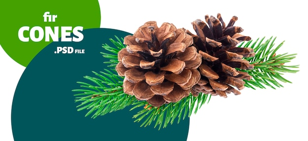 Branch of fir tree with pine cones