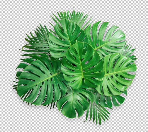 Лист зеленый монстера куст изолированные