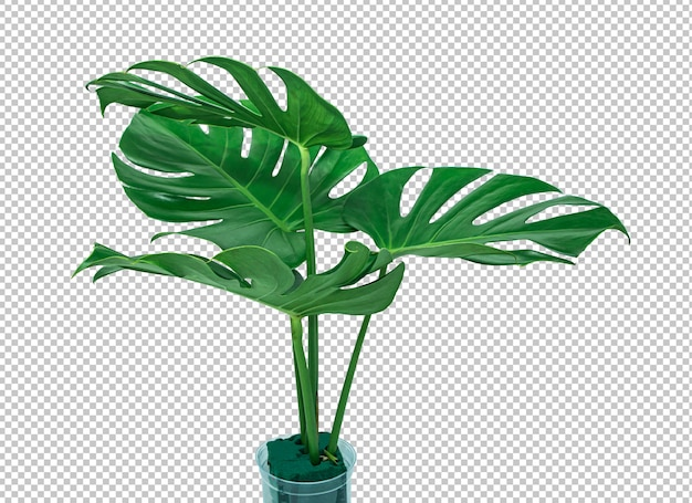 Bush monstera green leaf on isolated white .tropical leaves .