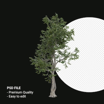 Camptotheca acuminata 나무 3d 렌더링에 고립 된 투명 한 배경
