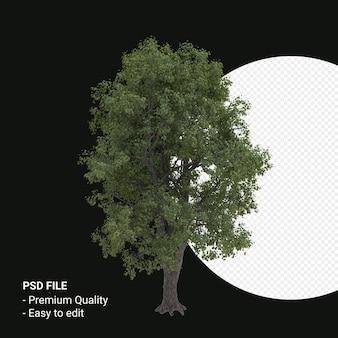 Celtis occidentalis 또는 hackberry 나무 3d 렌더링 투명 배경에 고립