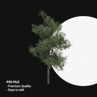 Celtis occidentalis 젊은 나무 투명 배경에 고립 된 3d 렌더링