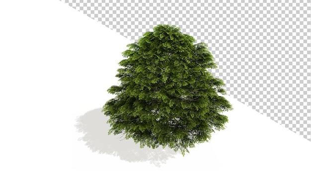 격리 된 나무 3d 렌더링 중국 주니퍼 중간 나무