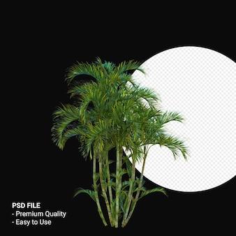 Chrysalidocarpus lutescens 3d 렌더링 절연