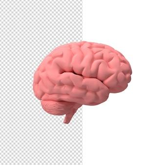 Крупным планом на мозгу 3d изолированные премиум psd