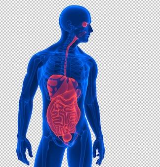 Крупным планом на рендере внутренних органов человека