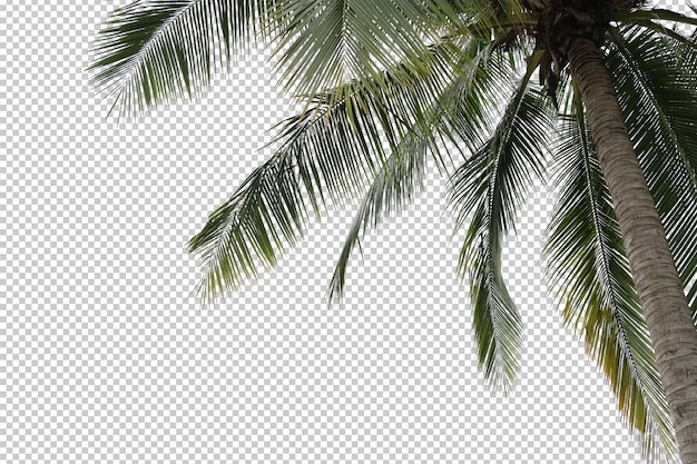 Coconut palm tree foreground isolated
