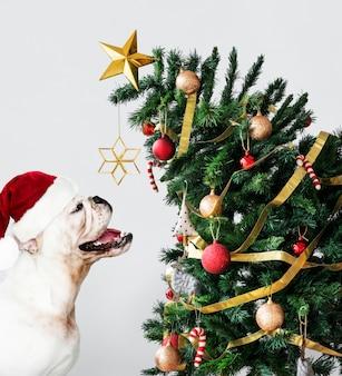 Cute Bulldog puppy wearing a Santa hat while holding a gift box