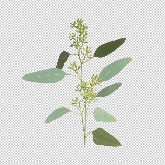 Eucalypthus leaves isolated