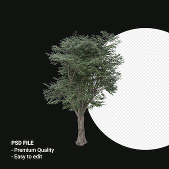 Fagus grandifolia 또는 미국 너도밤나무 나무 3d 렌더링 투명 배경에 고립