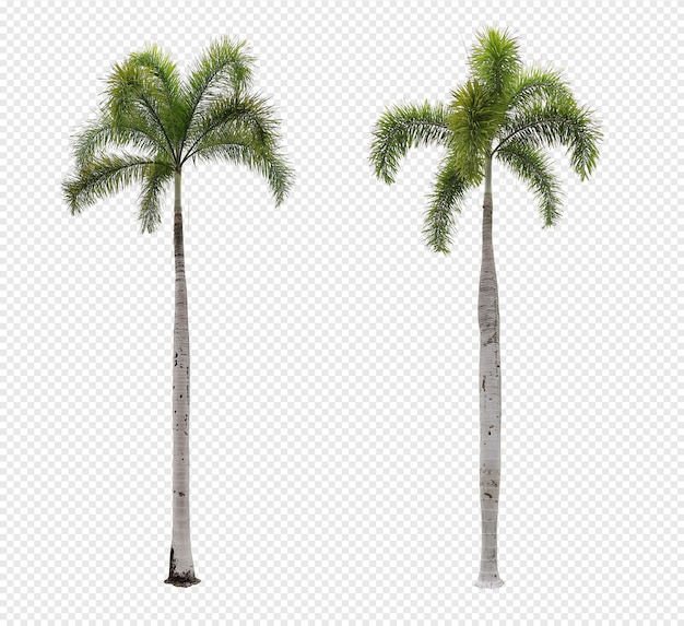 Foxtail palm tree set isolated