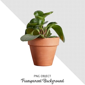 Front view of pilea flower isolated
