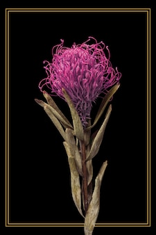 Gold frame with a dried pincushion protea flower on a black background