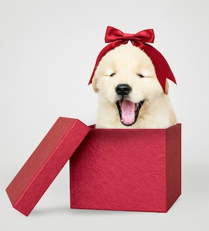 Golden retriever puppy in a red gift box
