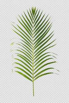 Green leaf ornamental plant isolated