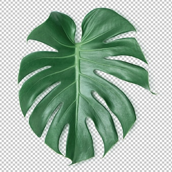 Green monstera leaf on isolated transparency .tropical leaves
