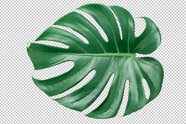 Green monstera leaf on isolated white .tropical leaves