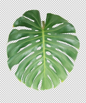 Green monstera leaf