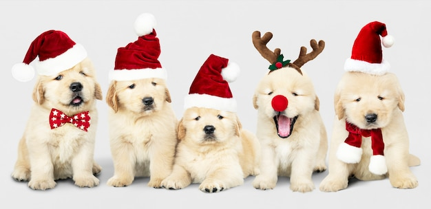 Group of adorable golden retriever puppies wearing christmas costumes