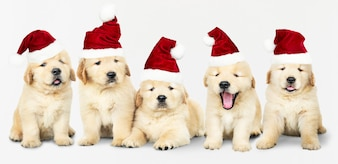Group of five Golden Retriever wearing Santa hats