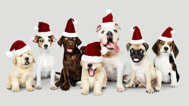 Группа щенков в новогодних шапках для празднования рождества