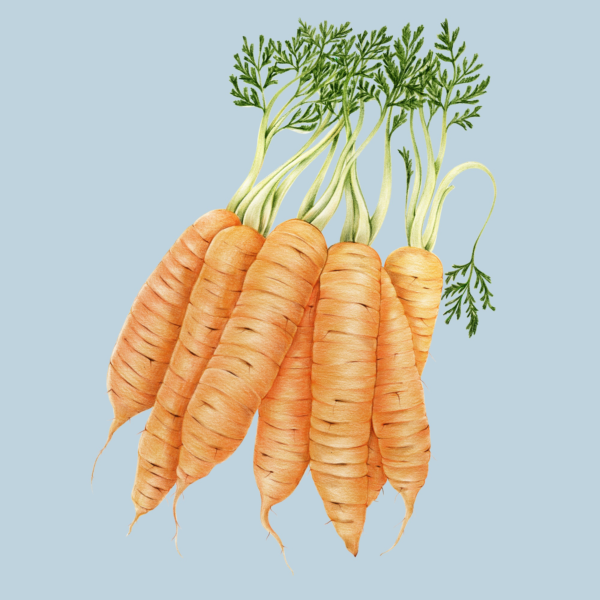 Hand drawn watercolor of carrots