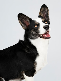 Happy cardigan welsh corgi dog