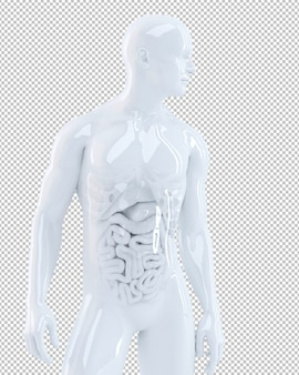 Human body with internal organs isolated