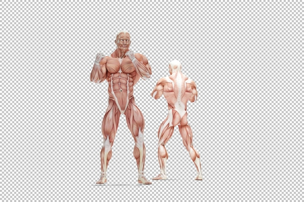 human body anatomy images free vectors stock photos psd human body anatomy images free