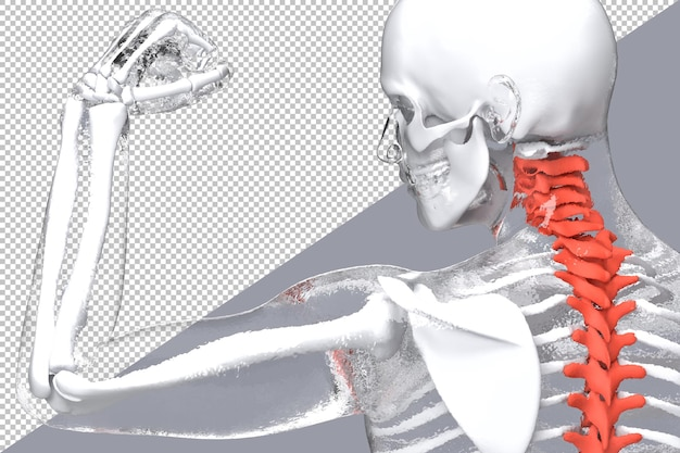 Human skeleton with highlighted spine in 3d rendering isolated