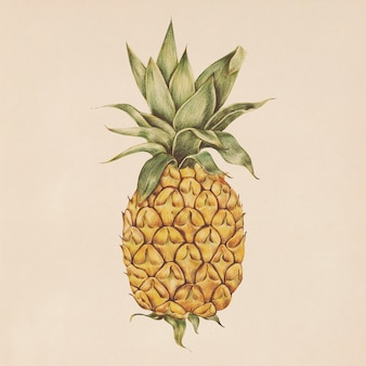 Illustration of pineapple in watercolor style