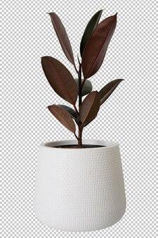白い鍋の透明な背景のインドゴムの木。
