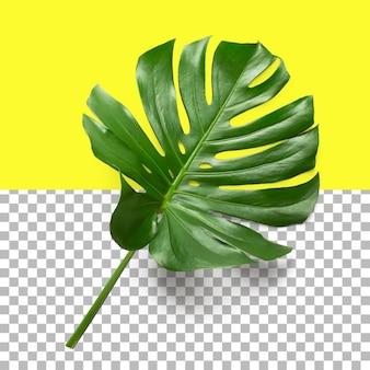 Monstera 잎의 고립 된 근접 촬영 보기