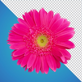 Изолированные цветок герберы psd