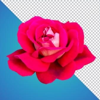 Изолированный файл розы изолированного слоя psd