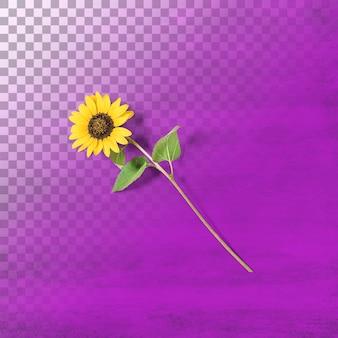 Изолированные цветок солнца против прозрачности
