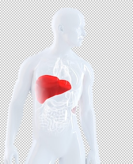 Male anatomy focused on liver isolated