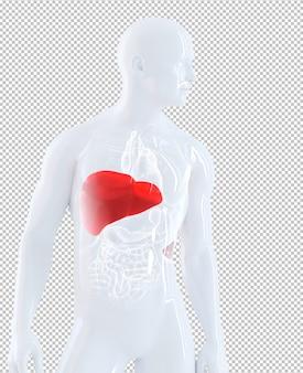 分離された肝臓に焦点を当てた男性の解剖学