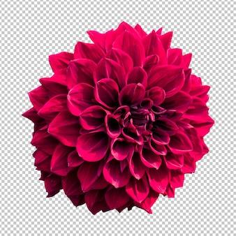 あずき色ダリアの花の分離レンダリング
