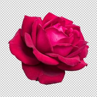 Бордовый цветок розы изолированные рендеринг